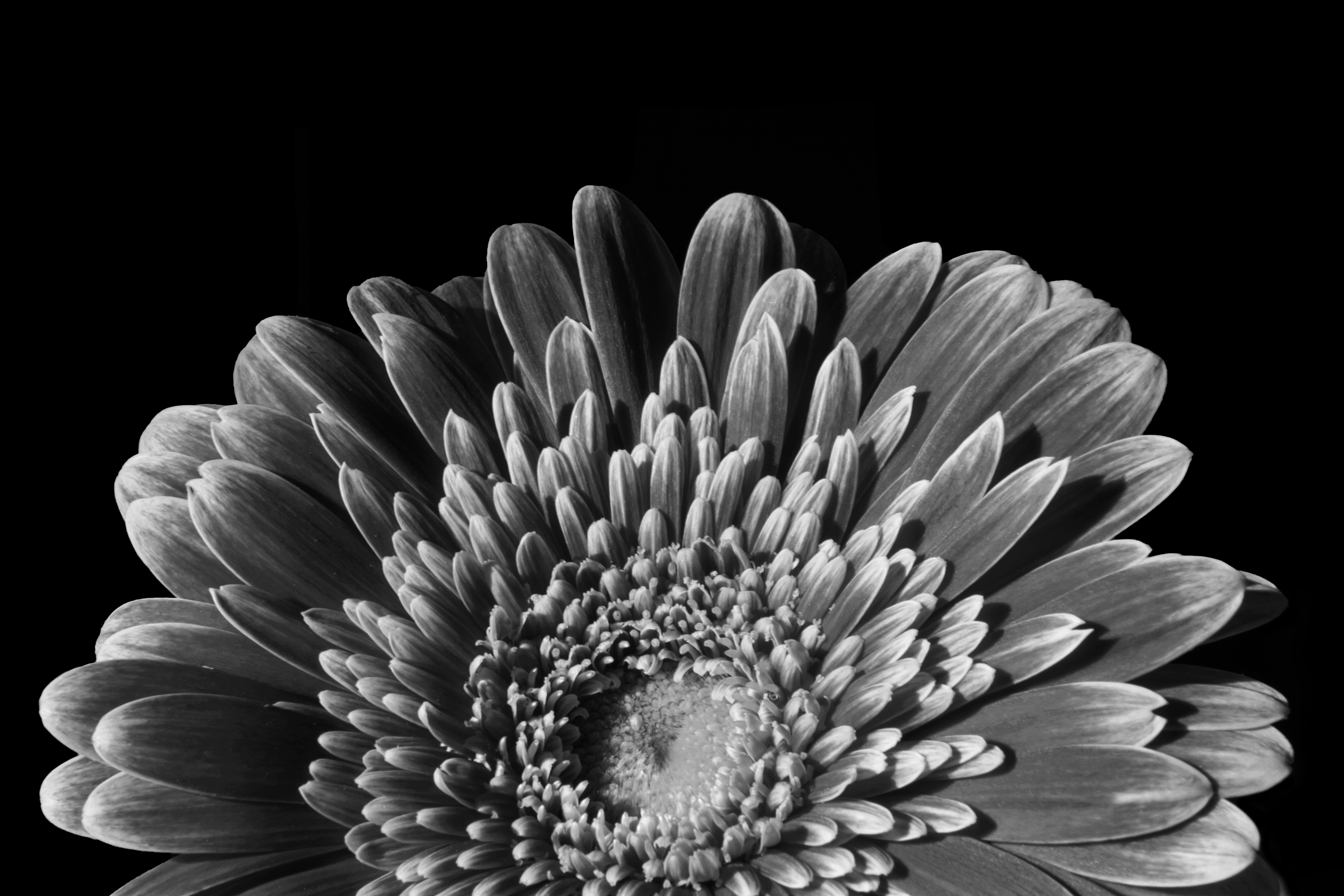 Flower photography redzenradish photography tag archives flower photography gerbera rising mightylinksfo